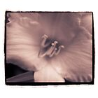 Iris Sepia Toned by gloriart