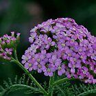 Purple Fleur by dbatiste