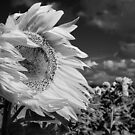 Windblown Sunflower by Julie Begg