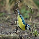 bluetit on a stick  by brett watson