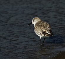 Searching Sanderling by fototaker