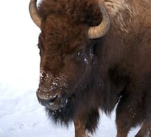 Bison on the move by diamondphotogal