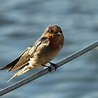 Welcome Swallow by stevealder