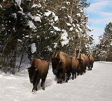 Yellowstone Traffic Jam by diamondphotogal