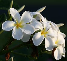 Frangipani after rain by Greta van der Rol