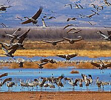 Lots of Cranes by Marvin Collins
