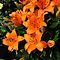 Sunlit Orange Lilies by BlueMoonRose