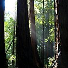 Redwood Sun Rays, Muir Woods, California by aidan  moran