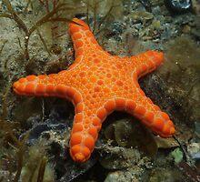 Pentagonaster dubeni - Rapid Bay Jetty, South Australia by Dan & Emma Monceaux