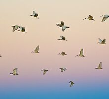 Sacred Ibis coming in to Roost at Twilight by Rob  Southey