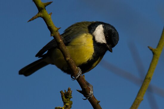 Great tit by Jon Lees