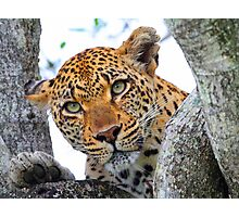 These tree branches are my leopards world! Photographic Print