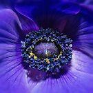 Blue Anemone by Sarah-fiona Helme