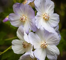Dog Roses by PhotosByHealy
