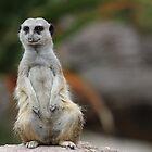 Cheeky and Curious Meerkat by DavidONeill