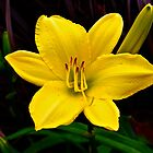 Today's the day - Day Lily by Marshall Thurlow