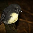 South Island Robin by Robyn Carter