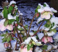 christmas roses in the snow by Gins412