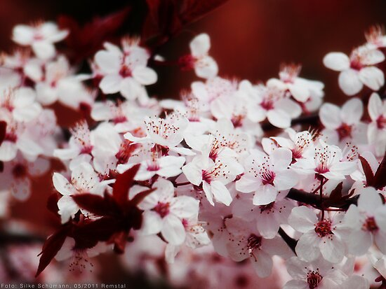 Cherry blossoms by vivendulies