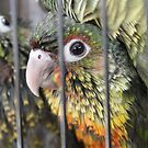 Conure Babies 2 by xTRIGx