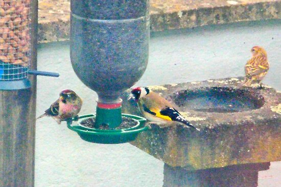 Redpoll, Goldfinch and Siskin by missmoneypenny