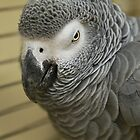 African Grey Parrot  by GreyFeatherPhot