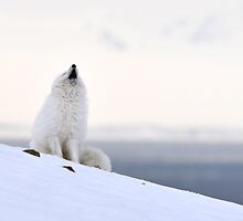Polar Fox in Bjørndalen by Algot Kristoffer Peterson