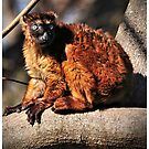 Sclater's Blue-Eyed (Black) Lemur by Dennis Stewart