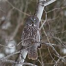 Great Grey Owl - Ottawa, Ontario by Josef Pittner