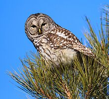 Barred Owl: Too Bright by John Williams