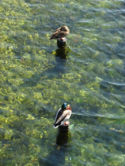 The Ducks of Ventimiglia by hans p olsen