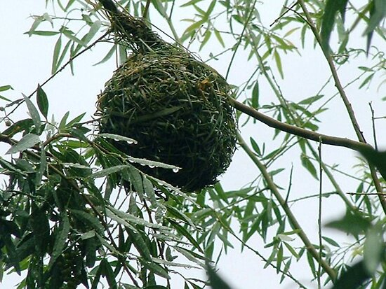 Masked Weaver's nest by Maree  Clarkson