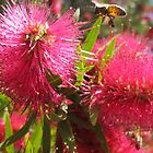 Bee in Bottle Brush #1 by SpikeyRose
