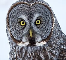 Great Gray Owl Portrait by Bill McMullen