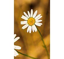 Daisy1 Photographic Print