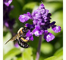 Bee 4 Photographic Print