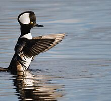 Hooded Merganser by Eivor Kuchta