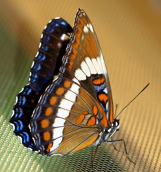 Beautiful Butterfly by vette