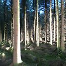 December Sun,Flitting Through ,the Forest Trees,Toureen Forest,Co. Waterford. by Pat Duggan