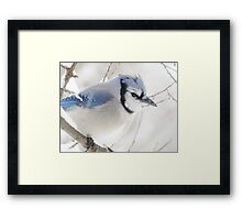 Not Another Blue Jay!!!! Framed Print