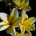Yellow Plumeria In The Dark by Shaun  Gabrielli