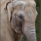 Asian Elephant by alan tunnicliffe