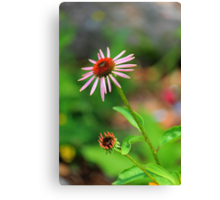 Echinacia purpurea Canvas Print