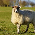 Pregnant Sheep In February 5 by glynk