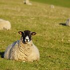 Pregnant Sheep In February 6 by glynk