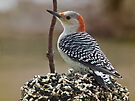 Woodpecker On Seed Cake by Deb Fedeler