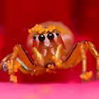 (Cosmophasis micans?) Jumping Spider  by Kerrod Sulter