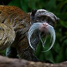 Emperor Tamarin by Ian English
