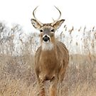 Beautiful Deer by RaymondJames