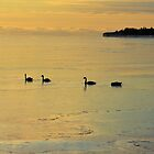 Swans At Wellington Beach by Shane Laing